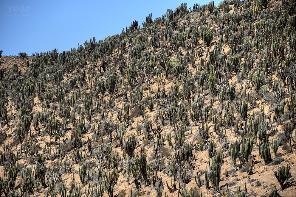 As we go further there are more and more cactuses. The sea of cactuses!